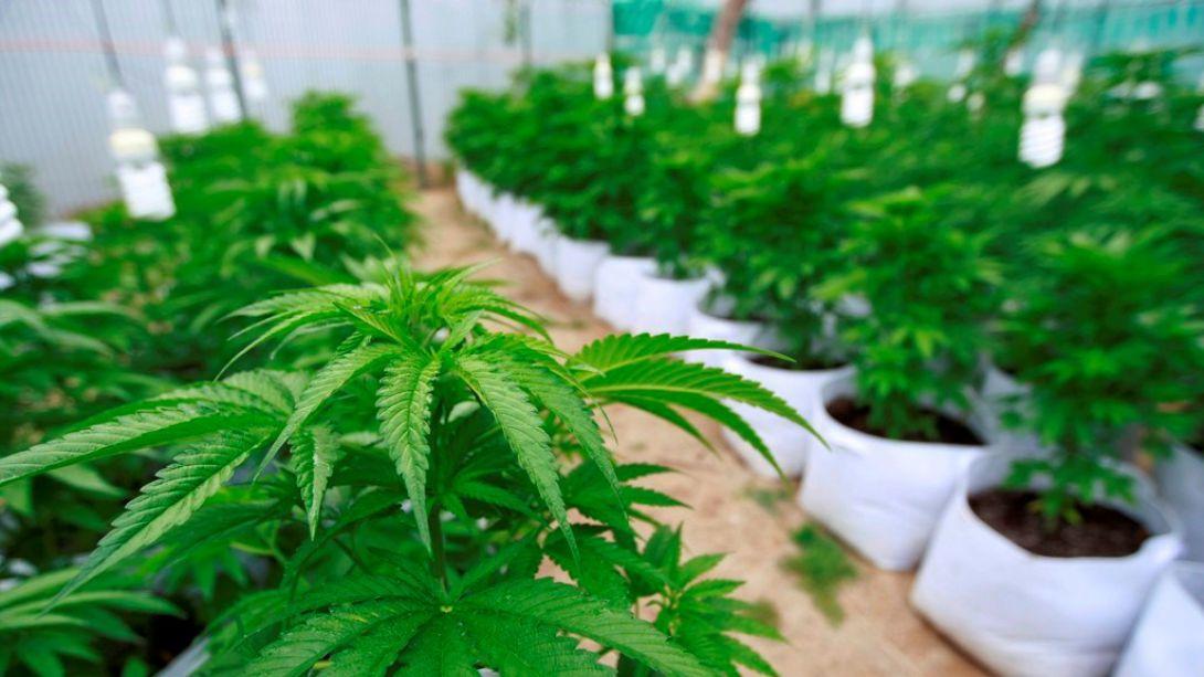 Se aprobaron los requisitos para siembra y cultivo de cannabis con fines de investigación médica y científica
