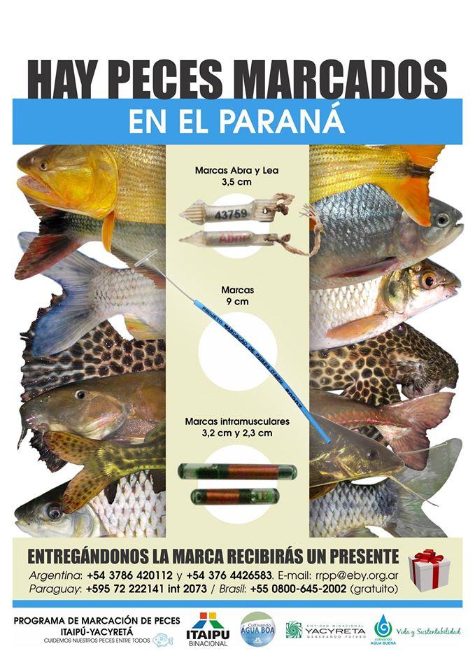 Dos peces marcados en la central Yacyretá ingresan en un canal de Itaipú