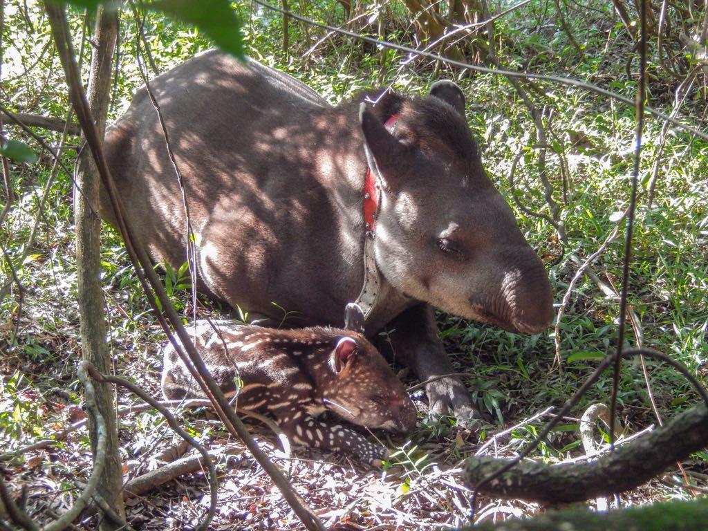 Nace un nuevo ejemplar de tapir en el Parque Iberá