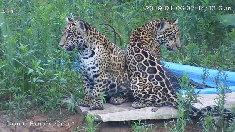 Arami y Mbarete, los yaguaretés nacidos en el Iberá, cumplen un año