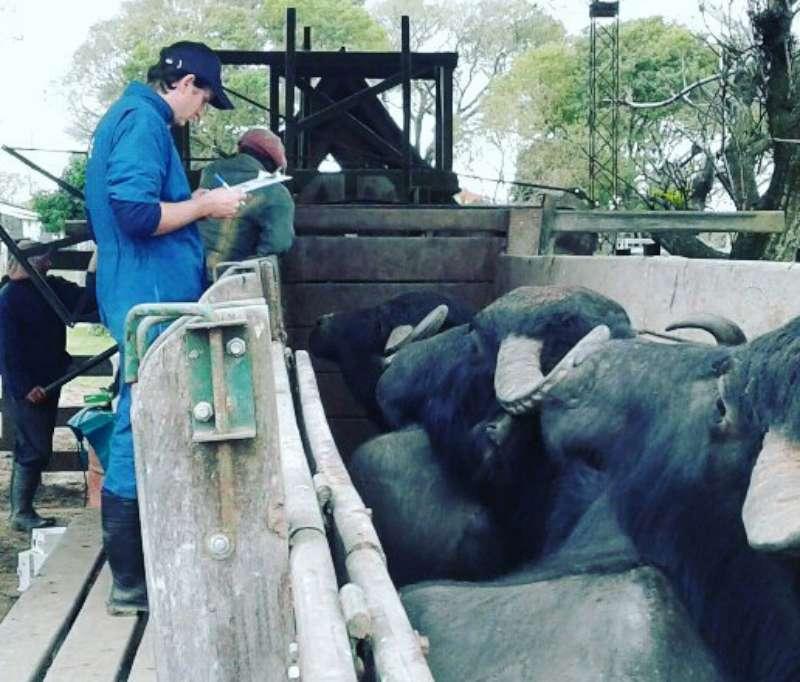 Primera experiencia en el país de obtención de material genético para inseminación artificial en búfalos