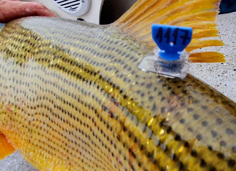 Marcación de peces del Paraná, un proyecto que suma apoyo nacional e internacional
