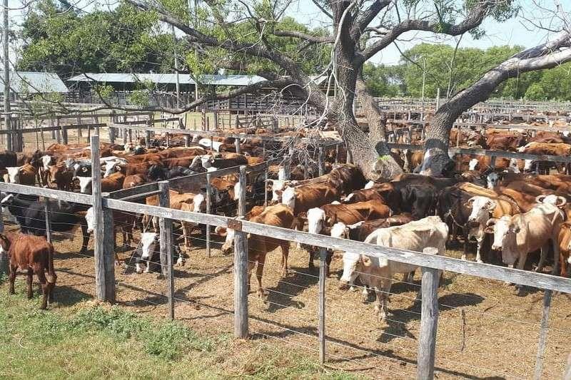 Segundo remate ganadero de pequeños productores en Caá Catí