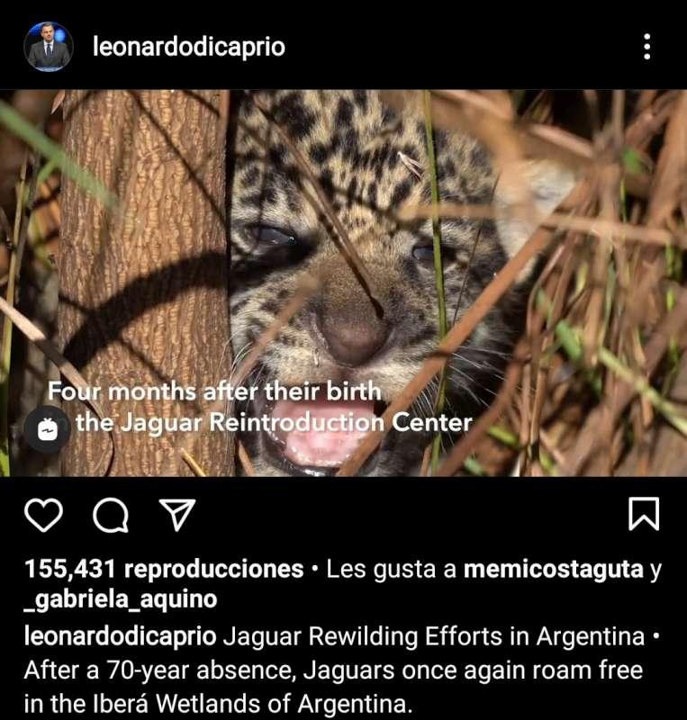 Leonardo Di Caprio destacó la reintroducción del Yaguareté en Corrientes y valoró el Iberá