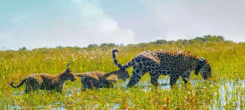 El retorno de los jaguares a los esteros del Iberá en Argentina
