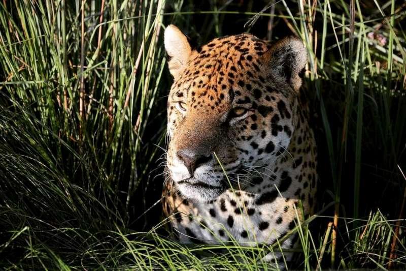Falleció el primer yaguareté del proyecto para la reintroducción de su especie en el Iberá